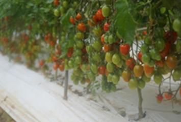 荒尾市 尾上さんのミニトマト